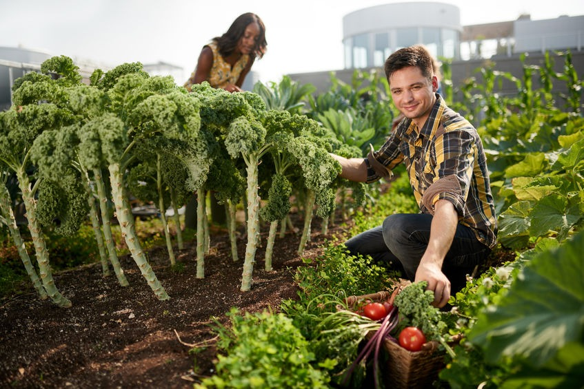 harvesting fresh vegetables from the rooftop greenhouse garden and planning harvest season